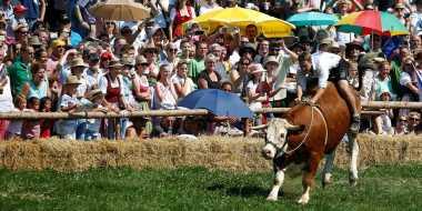 Serunya Lomba Balapan Sapi Tradisional di Jerman