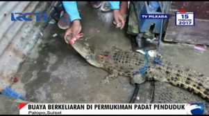 Buaya Berukuran 2 Meter Gegerkan Warga Palopo Sulawesi Selatan