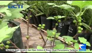 Budidaya Buah Tin di Indonesia