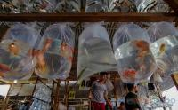 Sentra Ikan Hias Parung Jadi Favorit Pedagang Eceran