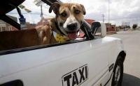 Anjing Ini Jadi Co-Pilot Sopir Taksi di Bolivia