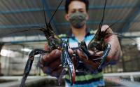 Begini Proses Budidaya Lobster Air Tawar