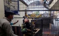 8 Tahun Dipelihara, Warga Pasrahkan Burung Merak Hijau Dibawa BKSDA Surabaya