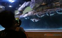 Lucunya Melihat Atraksi Pinguin di Jakarta Aquarium Safari