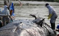 Tim Gabungan Periksa Bangkai Ikan Paus yang Terdampar di Pantai Bunko