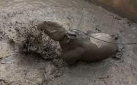Seekor Tapir Nyasar ke Permukiman Warga