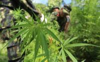 BNN Musnahkan Dua Hektar Ladang Ganja di Aceh