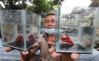 Permintaan Ikan Cupang Menurun, Ini Penyebabnya