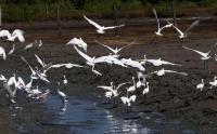 Burung Kuntul Miliki Peran Penting dalam Rantai Makanan Terancam Punah