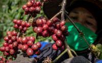 Intip Proses Panen Kopi Rubusta Berkualitas Ekspor di Perkebunan Semarang