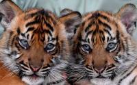 Bayi Harimau Sumatera Ini Diberi Nama Isyana dan Aura Biar Mudah Diingat