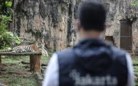 Gubernur Anies Lihat Harimau Sumatra yang Terpapar Covid-19 di Ragunan
