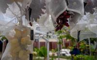 Isi PPKM, Warga Budidaya Anggur di Pekarangan Rumah