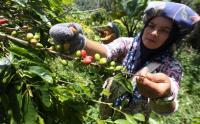 Melihat Proses Panen Hingga Pakaging Kopi Arabika Aceh Gayo yang Terkenal Mendunia