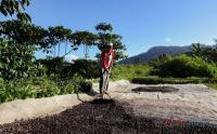 Menikmati Secangkir Kopi Robusta Hasil Panen Petani Desa Cisadon Bogor