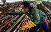 Harga Telur Terus Turun, Peternak Terpaksa Jual Ayamnya