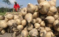 Petani Bengkuang di Kediri Terpaksa Panen Lebih Awal