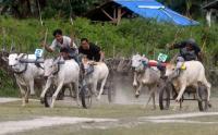Melihat Keseruan Lomba Karapan Sapi Tradisional di Sulawesi Tengah