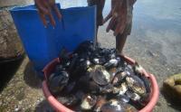 Kerang Lokan Danau Singkarak Melimpah