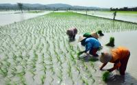 Produksi Padi Nasional Tahun 2021 Naik 65 Ribu Ton