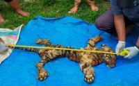Kulit Harimau Diperdagangkan, Dua Orang Tersangka Diamankan