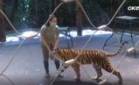 Apri Hernita, wanita Penakluk Harimau