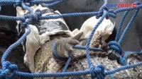 Niat Mancing Ikan, Pria di Kalteng Tangkap Buaya 2 Meter