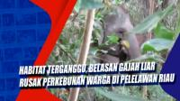 Habitat Terganggu, Belasan Gajah Liar Rusak Perkebunan Warga di Pelelawan Riau