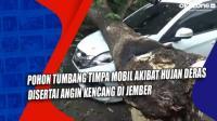 Pohon Tumbang Timpa Mobil Akibat Hujan Deras Disertai Angin Kencang di Jember