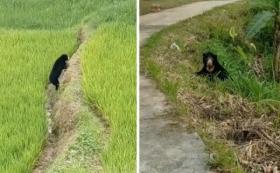 Viral Beruang Muncul di Persawahan, Warga Agam Resah