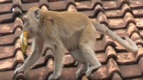 Teror Monyet Liar Resahkan Warga Kampung Nalagati