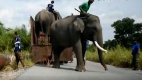 Mitigasi Konflik Satwa Liar dengan Warga, Gajah Liar Dipasangi GPS
