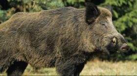 Viral Babi Hutan Kejar Wisatawan di Jakabaring Sport City