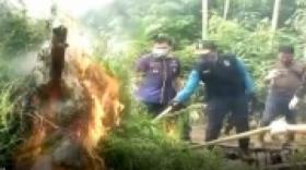 BNN Musnahkan 30 Ribu Pohon Ganja