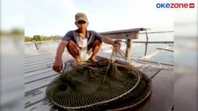 Harga Lobster Hancur, Nelayan Beralih Budidaya Ikan Kerapu