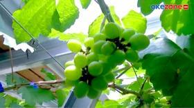 Sulap Rumahnya Jadi Kebun Anggur, Syaiful Kantongi Rp20 Juta Sebulan