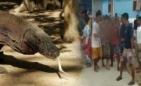 Balita Diserang Komodo hingga Pergelangan Tangan Luka Parah