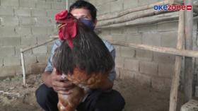 Ayam Brahma Jumbo Asal India, Berbulu Eksotis dan Jinak