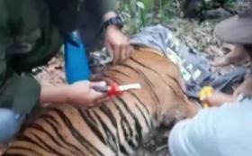 Seekor Harimau Sumatera Terjerat Perangkap Babi di Aceh