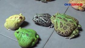 Hobi Memelihara Katak Amerika 'Pacman Frog' Jadi Peluang Usaha