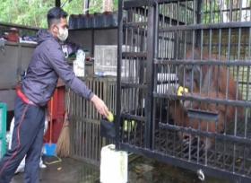 Orangutan dan Beruang madu akan Dilepasliarkan BKSDA Pangkalan Bun