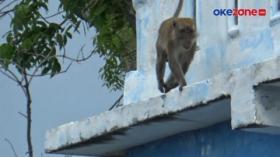 Monyet Peliharaan Warga Lepas, Serang 6 Orang