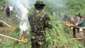 2 Ladang Ganja di Aceh Besar Dimusnahkan BNN