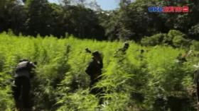 BNN Temukan 2 Hektare Ladang Ganja Siap Panen di Aceh Besar