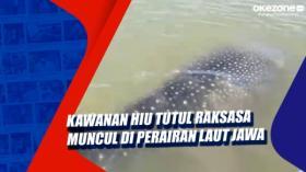 Kawanan Hiu Tutul Raksasa Muncul di Perairan Laut Jawa