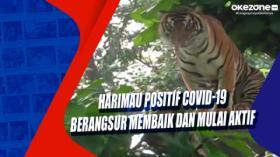 Harimau Positif Covid-19 Berangsur Membaik dan Mulai Aktif
