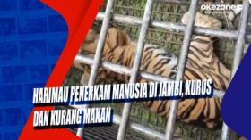 Harimau Penerkam Manusia di Jambi, Kurus dan Kurang Makan