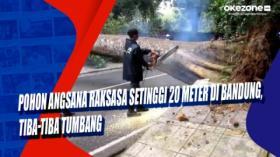 Pohon Angsana Raksasa Setinggi 20 Meter di Bandung, Tiba-Tiba Tumbang
