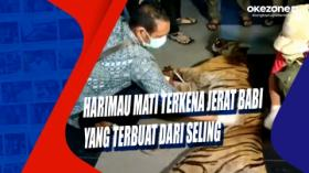 Harimau Mati Terkena Jerat Babi yang Terbuat dari Seling