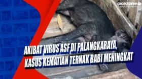 Akibat Virus ASF di Palangkaraya, Kasus Kematian Ternak Babi Meningkat